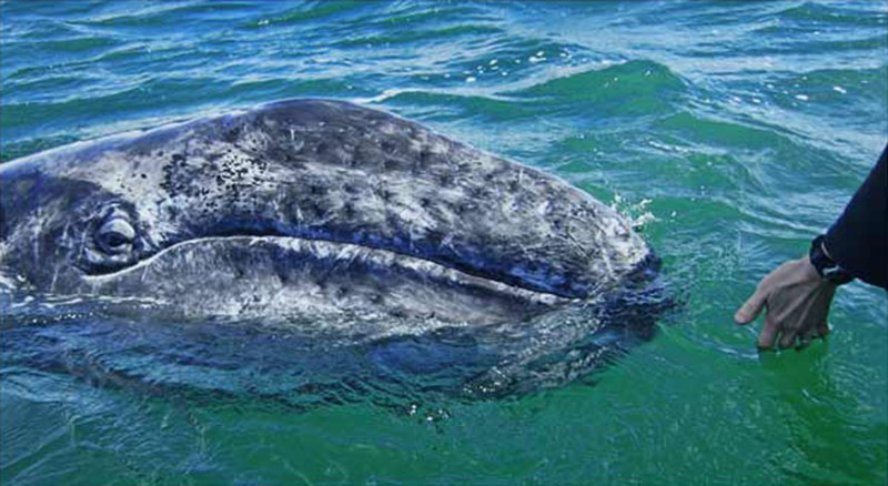 filtered-grey-whale